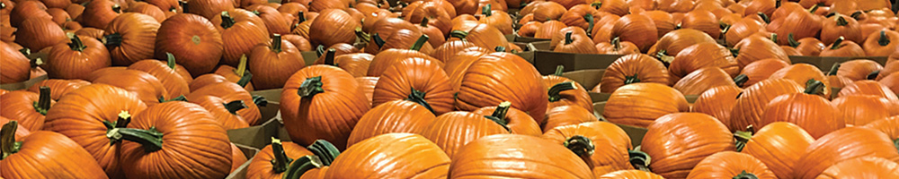 Image of hundreds of Bayhorse Gold pumpkins in bins for shipping.