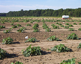 Pumpkin planting spacing