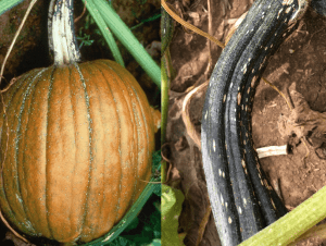 Photo of a pumpkin and stem showing Plectospoium blight