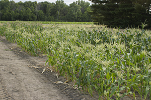 Photo of Rupp Seeds cold soil sweet corn test plot.