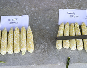 Ears of BC 30008 (Pursuit) and Remedy sweet corn